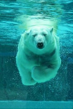 Underwater Ursus – Amazing Pictures - Amazing Travel Pictures with Maps for All Around the World Beautiful Creatures, Animals Beautiful, Animal Pictures, Cool Pictures, Animals And Pets, Cute Animals, Wild Animals, Pretty Animals, Nature Animals