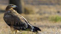 La población de águila imperial ibérica alcanza su máximo histórico en Doñana