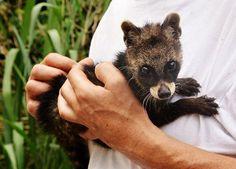Baby Civet