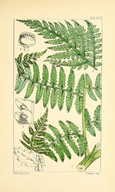 Vintage Fern Prints Plate 13 Wall Art beautiful giclee reproduction print on fine paper. Available in different sizes, unframed or framed in gold or silver leaf wood frame, or wood burl. Custom sizes available. Made in USA by Museum Outlets