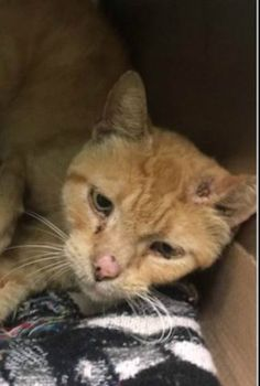 WAFFLE - A1123969 - - Brooklyn  *** TO BE DESTROYED 09/06/17 ***  ***FIV POSITIVE *** Waffle is such a sweetie! This friendly senior guy can be found rubbing against the bars of his kennel, or meowing to get as much attention as possible! He was brought it because he had several wounds on his body, and this handsome guy is beyond excited to go to his forever family. -  Click for info & Current Status: http://nyccats.urgentpodr.org/waffle-a1123969/