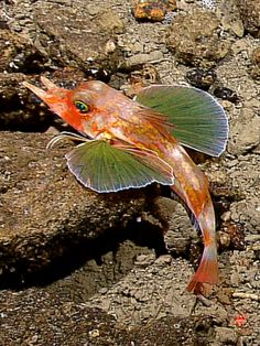 The bottom-dwelling sea robin has several sets of specialized fins, including some that allow the fish to swim & others that let it perch on the seafloor: spotted off the Indonesian island of Sulawesi | article from national geographic news