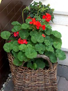 Moje drobné radosti » Blog Archive » Ako prezimovať muškáty – vyskúšala som … Geranium Plant, Red Geraniums, All The Colors, Wicker, Herbs, Archive, Flowers, Plants, Blog