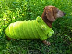 Dachshund clothing green sweater with pompoms caterpillar Dachshund Clothes, Mini Dachshund, Pet Clothes, Knit Dog Sweater, Summer Knitting, Pink Hat, Sweater Making, Green Sweater, Winter Accessories