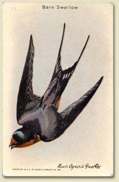 "Arm & Hammer ""Useful Birds of America"" Barn SwallowCard"