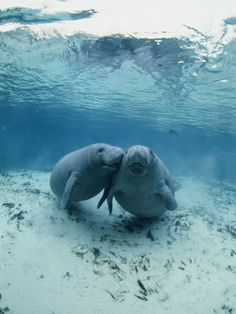 brian-j-skerry-an-underwater-shot-of-a-pair-of-florida-manatees | http://PhilosBooks.com