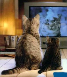 Cats watching Animal Planet, and this is WHY I leave it on for the dogs. I'm NOT crazy. They love it. :) Though they are sick of Animal Cops. hahaa