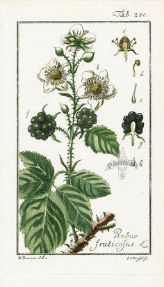 Rubus fruticosus, Blackberry by Zorn from Icones Plantarum Medicinalium 1799-1790