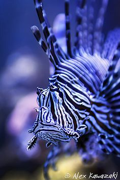Lion fish; They can kill a shark with the poison from the spikes on their backs.