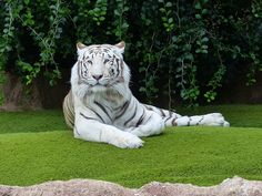 #INDIA: il viaggio alla ricerca della #TIGRE BIANCA. Aiutati da una guida naturalista andiamo alla scoperta delle aree protette indiane dove si trovano tigri, leopardi e iene, antilopi azzurre, cuon, cinghiali, sambar, orsi labiati, cervi pomellati e il raro barasinga.#VIAGGI #TURISMO
