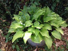 Mijn hosta heeft geen last van slakken doordat deze in een zinken teil groeit. Garden Tips, Terrace, Vegetables, Plants, Balcony, Patio, Vegetable Recipes, Plant, Decks