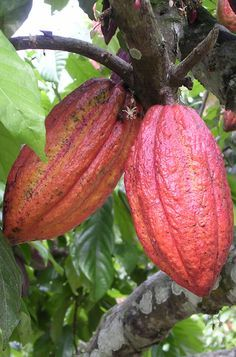 COCOA - Typical brazilian fruit. With the white pulp is made cocoa butter, and the brown coffee seeds is done the wonderful chocolate.