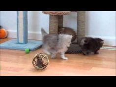 Ultra Tiny Teacup Rug Hugger Persian Kittens - For Sale