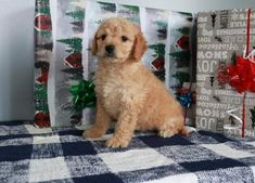 Buy Cheap Goldendoodle Puppies for Sale near me Goldendoodle Puppy For Sale, Labradoodle, Puppies For Sale, Buy Cheap, Cute Animals, Doodles, Stuff To Buy, Pretty Animals, Cutest Animals