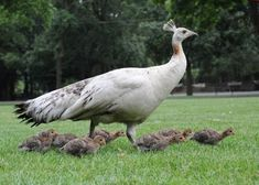 "At Chicago's Brookfield Zoo, 2 clutches of Guineafowl chicks were incubated by Feta and Blue, the Zoo's Indian peahens [who] are now raising the chicks too. ""Zoogoers may not notice anything unusual between the moms and chicks, but there are definitely differences and several barriers that they needed to overcome, including language and behaviors"" For instance, Guineafowl chicks naturally scatter and hide when frightened or threatened, while peachicks run toward their mother."