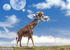 animals big ears - Google Search Giraffe, Ears, Google Search, Big, Animals, Animales, Animaux, Giraffes, Ear