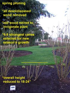 Rose when to prune and Pruning Objectives:Improve Air Circulation Deadhead fo Sun Garden, Dream Garden, Lawn And Garden, Garden Plants, Monet, Rose Care, Heirloom Roses, Beautiful Flowers Garden, Rose Bush