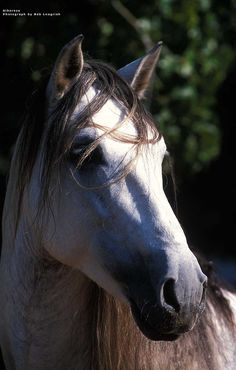 Andalusian horse #horse