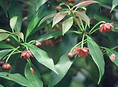 What is star anise? Substitute, recipes and tips for cooking with star anise and Chinese Five Spice. Health benefits of star anise Evergreen Flowering Shrubs, Evergreen Trees, Homestead Gardens, Star Anise, Plant Species, All Plants, Hedges, Trees To Plant, Exotic