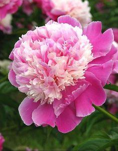 PEONY - Garden Flowers...