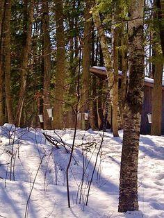 Maple Sugar time on Red Maple Trail -Scanlon Creek