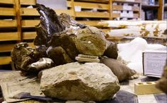 Researchers from Tomsk State University (southern Siberia) have announced that they may have discovered a new, giant dinosaur species. This dinosaur has been Pictures Of Fossils, Giant Dinosaur, Dinosaur Discovery, Photos, Geology, Bones, Passion, Pictures, Dice