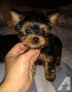 "Determine more details on ""Yorkshire terriers"". Check out our web site. Source by The post Cute AKC Yorkshire Terrier Pups for Adoption appeared first on Floyd Pet Supplies. Yorkies, Yorkie Dogs, Toy Yorkie, Yorkie Names, Cavapoo Puppies, Yorkie Puppies For Adoption, Yorkie Puppy For Sale, Free Puppies For Adoption, Cute Puppies For Sale"