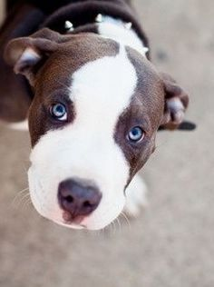 My lovely roommates say i cant have a pitbull, but if i ever ran across this cutie I would just have to find new roommates