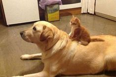 Cats Who Surprisingly Cannot Deny Their Love For Dogs - World's largest collection of cat memes and other animals Cute Baby Animals, Funny Animals, Unlikely Animal Friends, Cat Years, Cute Cats And Dogs, Fauna, Nature Animals, Cat Love, Animals Beautiful