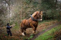 Depuis le début du mois de mars 2013, deux chevaux de traits bretons arrachent des plantes invasives dans les bois dAmour et de la Tourelle à Quimper Ici, Oscar en plein ouvrage de dessouchage des lauriers palme qui ont envahi le bois de La Tourelle. © Toilapol - vendredi 22 mars vers 10h   Finistère Bretagne
