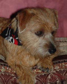 Glendale's Oliver Twist - Norfolk Terrier