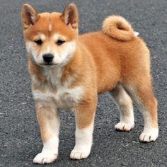 Фото охотничьей породы собак шиба ину из Японии. Охотничья порода собак из Японии шиба-ину, самая мелкая из шести охотничьих.