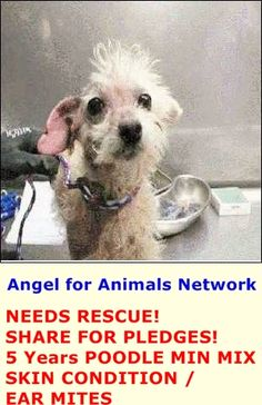 NEEDS RESCUE! SHARE FOR PLEDGES! A1389364 M 5 Years WHITE POODLE MIN MIX 5/19/2015 SKIN CONDITION / EAR MITES VIDEO: https://www.youtube.com/watch?v=LSCWvLJQL2c&feature=youtu.be OC Animal Care. 561 The City Drive South, Orange, CA. 92868 Telephone: 714.935.6848 https://www.facebook.com/AngelsForAnimals.AFA/photos/pb.315830505222.-2207520000.1432323915./10155549646675223/?type=3&theater