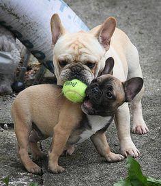 Daddy French Bulldog teaching his Son how to Play Ball, via Tahoma French Bulldogs.