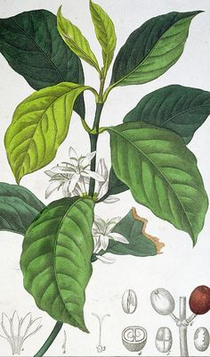 Giclee Print: Coffea Arabica Art Print by Pancrace Bessa by Pancrace Bessa : Coffee Illustration, Plant Illustration, Botanical Illustration, Botanical Drawings, Botanical Prints, Starbucks Cup Art, Coffee Artwork, Coffea Arabica, Coffee Flower