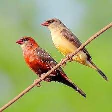 30 A Strawberry Finch Ideas Finch Birds Beautiful Birds