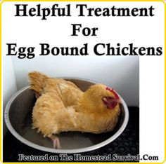 The Homestead Survival | Helpful Treatment For Egg Bound Chickens | Homesteading - Chicken - Raising Chickens - http://thehomesteadsurvival.com