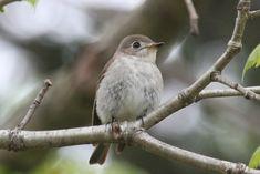 Tiny Bird, Asian, Hummingbirds, Cats, Animals, Brown, Gatos, Animales, Animaux