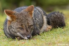 Lycalopex fulvipes Coyotes, Peninsula Valdes, Fox Tattoo, Flora And Fauna, Red Fox, Darwin, Baby Animals, Wolf, Aesthetics
