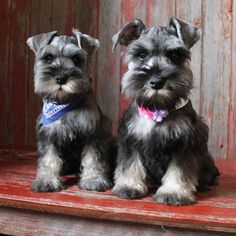 See this Instagram photo by @the_schnauzer_house • 447 likes