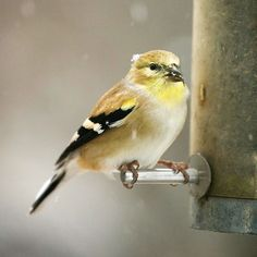 Attract Song Birds to Winter Gardens...