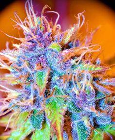 Beauty - Cannabis Colors #marijuana #weed #pot #ganja #cannabis #medicine #medical #high #stoned #bud #ganja #420 #dank #kush
