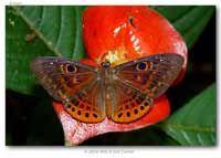 Eurybia cyclopia thumbnails