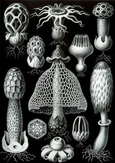 See here for index to numbers. Dictyophora madonna (Haeckel) = Phallus sp.?, mature fruiting body Phallus impudicus (Linné) = Phallus impudicus L., mature fruiting body with lengthwise section of volva Aseroë rubra (Billardière) = Aseroe rubra Labill., mature fruiting body Clathrus cancellatus (Tournefort) = Clathrus ruber P.Micheli ex Pers., mature fruiting body Clathrella crispa (E. Fischer) = Clathrus crispus Turpin, mature fruiting body Clathrella pusilla (E. Fischer)-Haeckel…