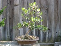 how to care for olive bonsai