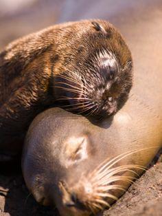 Mom and Baby Sea Lions, South Plaza Island, Galapagos Islands National Park, Ecuador by Stuart Westmoreland