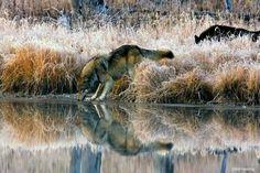Wolves...love them..
