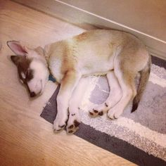I fell asleep in the bathroom after my long walk around the dam  #longwalk #sleepy #tired #sleepychief #bathroom #woops #pup #pooch #puppy #puppies #puppiesofinstagram #germanshepherd #husky #cross #northerninuit #wolf #woof #wolfdog #dogsofinstagram #doggy #dog #cutepuppy #chief #Padgram