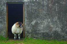 Free Image on Pixabay - Sheep, Scotland, Wool, Nature Free Pictures, Free Photos, Free Images, Highlands, Scottish New Year, Scotland Landscape, Scotland Holidays, Eid Al Adha, Scottish Clans