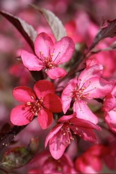 Malus 'Royal Raindrops' Crabapple - in bloom